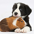 Border Collie Pup And Tricolor Guinea by Mark Taylor