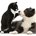 Border Collie Pup And Tuxedo Kitten by Mark Taylor