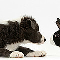 Border Collie Puppy And Rabbit by Mark Taylor
