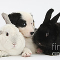 Border Collie Pups With Black Rabbit by Mark Taylor