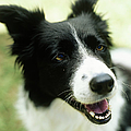 Border Collie Sitting On Grass,close-up by Stockbyte