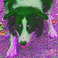 Border Collie Stare In Colors by Smilin Eyes  Treasures