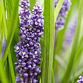 Border Grass Liriope Muscari Big Blue by VisionsPictures