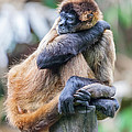 bored Spider Monkey by Craig Lapsley