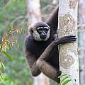 Bornean White-bearded Gibbon by Mark Taylor