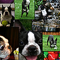 Boston Terrier Photo Collage by Susan Herber