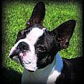 Boston Terrier Two by Rebecca Newton