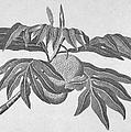 Botany: Breadfruit Tree by Granger