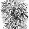 Botany: Ficus Elastica by Granger