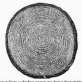 Botany:  Fir Tree Trunk by Granger