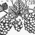 Botany: Grapes by Granger