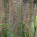 Bottle Brush Grass by Susan Herber