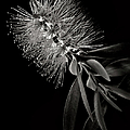 Bottlebrush In Black And White by Endre Balogh