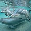 Bottlenose Dolphin Underwater Trio by Flip Nicklin