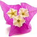 Bougainvillea Flower by Fabrizio Troiani