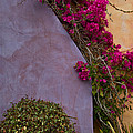 Bougainvillea by Roger Mullenhour