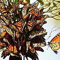 Bouquet Of Butterflies by Diana Hatcher