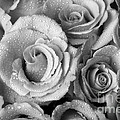 Bouquet Of Roses With Water Drops In Black And White by James BO  Insogna