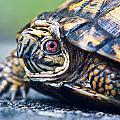 Box Turtle 1 by Douglas Barnett