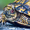 Box Turtle 2 by Douglas Barnett