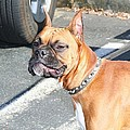Boxer Dog by Ritmo Boxer Designs