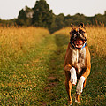Boxer Dog Running Happily Through Field by Stephanie McDowell