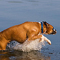 Boxer Playing In Water by Stephanie McDowell