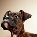 Boxer Puppy by Chad Latta