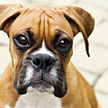 Boxer Puppy by Jody Trappe Photography