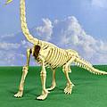 Brachiosaurus Dinosaur Skeleton by Friedrich Saurer