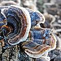 Bracket Fungi - Fungus by Kaye Menner