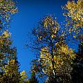 Bradshaw Autumn Aspen Canopies by Aaron Burrows