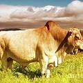 Brahma Bull And Harem by Gus McCrea