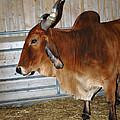 brahma Cow by LeeAnn McLaneGoetz McLaneGoetzStudioLLCcom