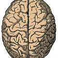 Brain by Science Source
