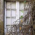 Branchy Window by Carlos Caetano