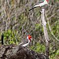 Brazillian Cardinals by Elizabeth  Doran