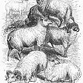 Breeds Of Sheep, 1841 by Granger