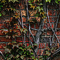 Brick And Ivy by Richard Gregurich