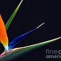 Bright Bird Of Paradise Rectangle Frame by Byron Varvarigos