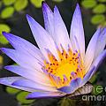 Bright Blue Water Lily by Yali Shi