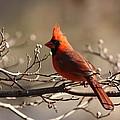 Bright Bold - Cardinal by Travis Truelove