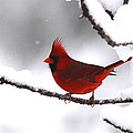 Bright In The Snow - Cardinal by Travis Truelove