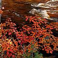 Bright Leaves At Swift River by Nancy De Flon