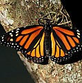 Bright Orange Monarch Butterfly by Sabrina L Ryan