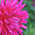 Bright Pink Dahlia by Susan Herber
