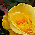 Bright Yellow Rose by Kaye Menner