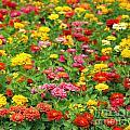 Brightly Colored Marigold Flowers by Yali Shi