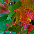 Brilliant Red Maple Leaves by Mick Anderson