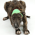 Brindle Lurcher Wearing A Bandage by Mark Taylor